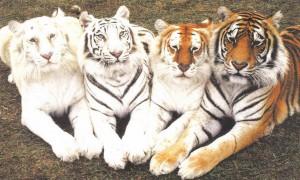 tigers-300x180